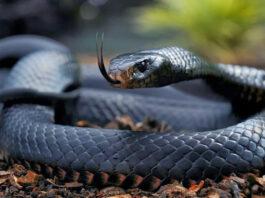 Dangerous Animals - Black mamba
